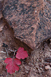 red leaves and rock